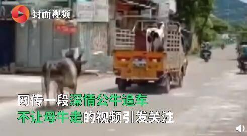 """母牛被卖公牛追车一公里阻止 最终有情""""牛""""终成眷属"""