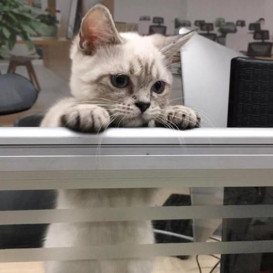 怀孕的流浪猫,霸占了公司会议室