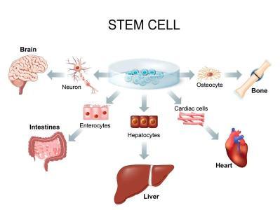 """""""哪里不行换哪里"""",干细胞究竟有多能干?"""