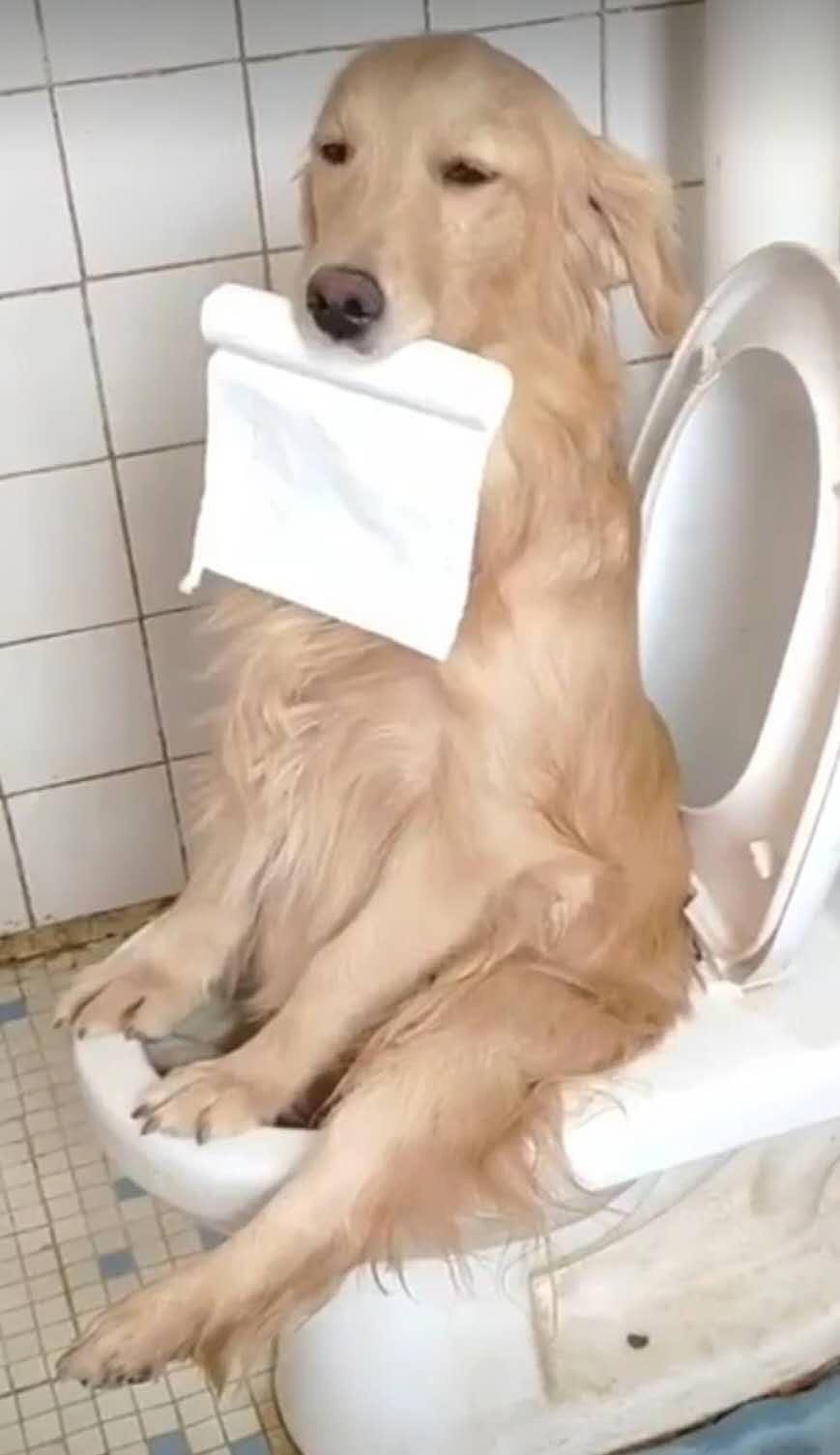 铲屎官告诉金毛不可以乱尿尿,回家后看傻眼了