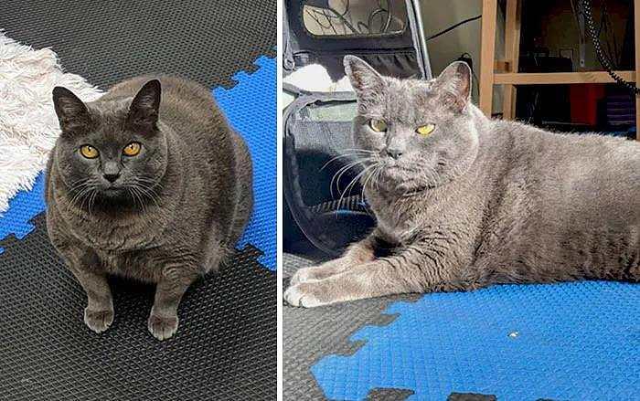 超励志!36斤大肥猫两年后脱胎换骨!网友直呼:猫都比我努力