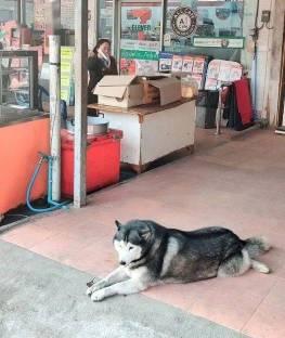 """泰国金店被抢劫,看门的二哈怂到""""装死""""秒睡"""