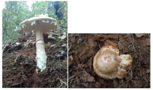 你知道吗?毒蘑菇其实有五大类,但吃哪种才能看到小人跳舞呢?