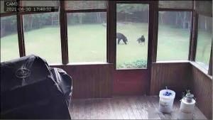 邻居来敲门:你家大德牧在院子里跟一头熊玩耍