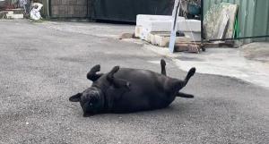 """出门被""""黑毛猪""""拦路,主人却说:它是狗啦…"""