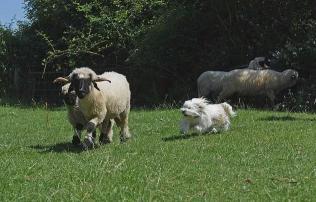 牧羊犬惨遭开除,原因竟然是这个…
